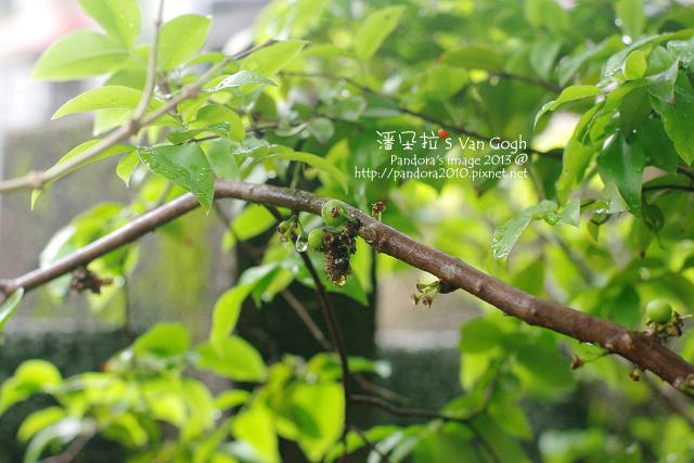 2013.04.05-樹葡萄2
