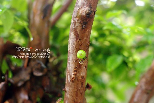 2013.04.05-樹葡萄3