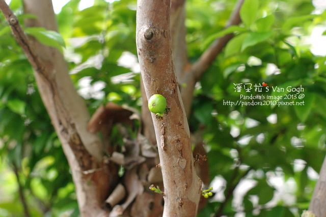 2013.04.08-樹葡萄