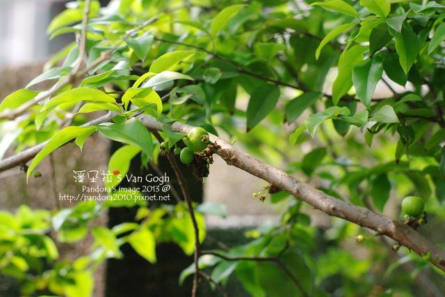 2013.04.08-樹葡萄2