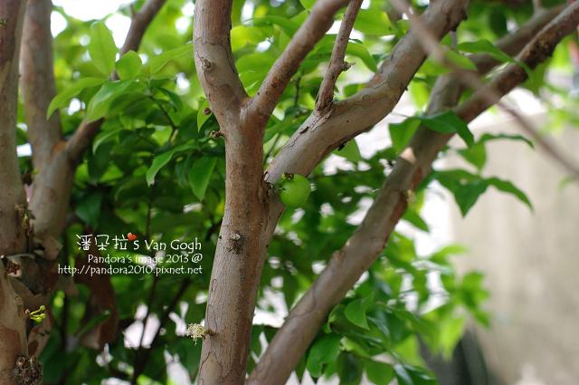 2013.04.08-樹葡萄3