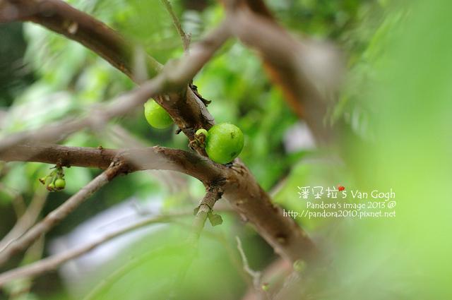 2013.04.09-樹葡萄