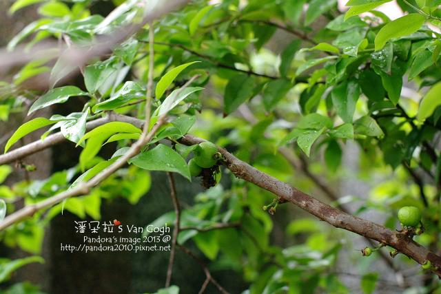 2013.04.09-樹葡萄2