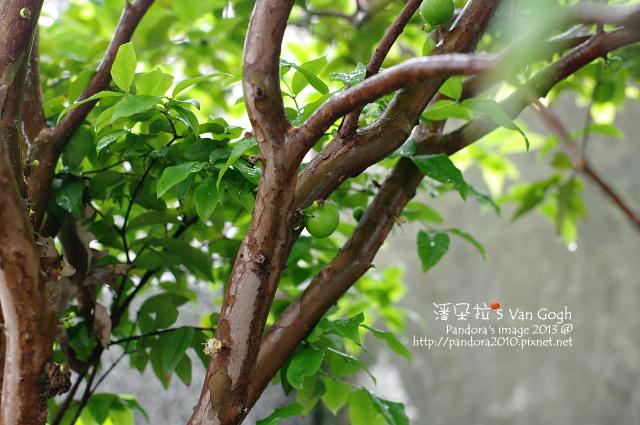 2013.04.09-樹葡萄3
