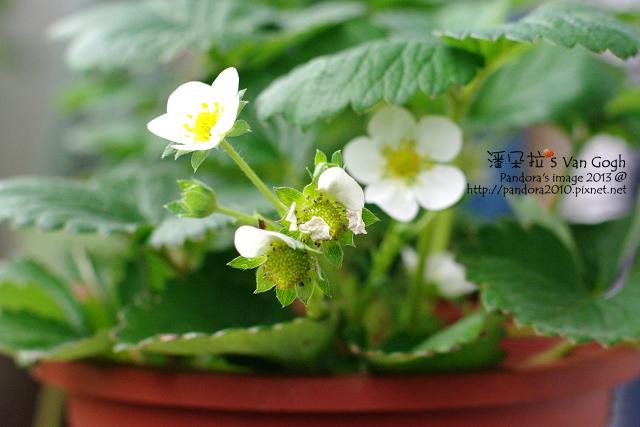 2013.04.16-小草莓