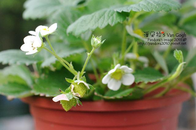 2013.04.18-小草莓