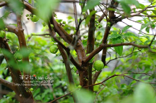 2013.04.14-樹葡萄