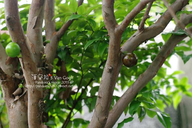 2013.04.16-樹葡萄