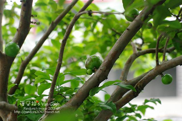 2013.04.16-樹葡萄2