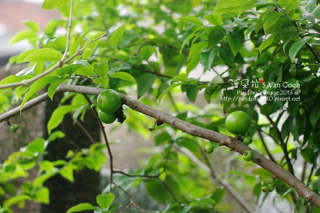 2013.04.16-樹葡萄3