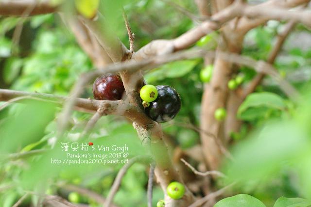 2013.04.18-樹葡萄2