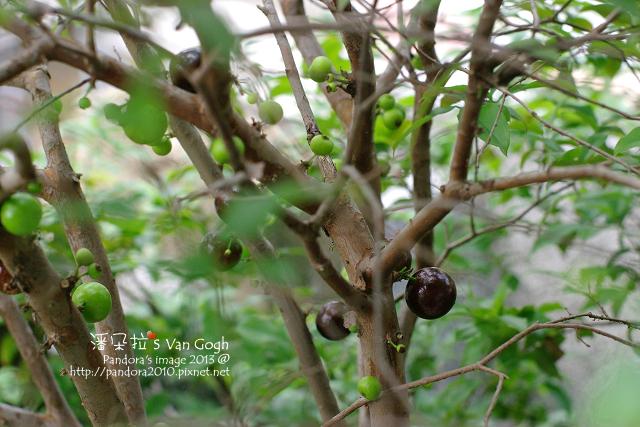 2013.04.18-樹葡萄3