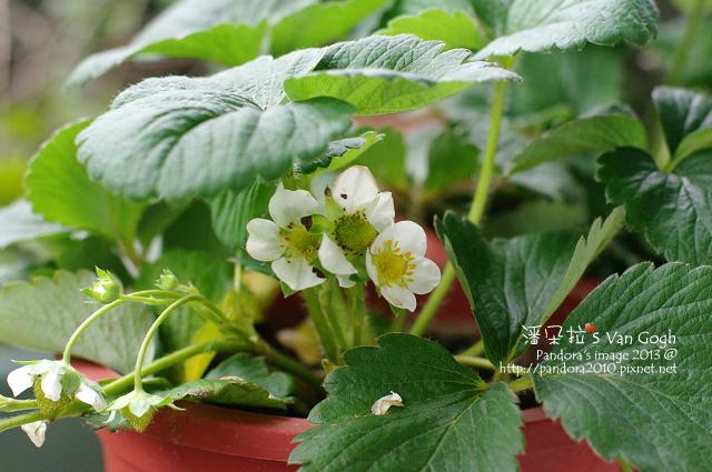 2013.04.21-小草莓2
