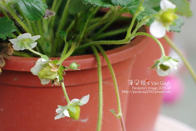 2013.04.21-小草莓3