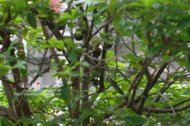 2013.04.28-樹葡萄、白頭翁