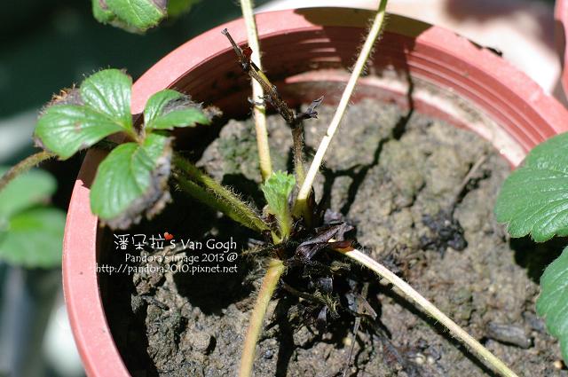 2013.05.17-小草莓