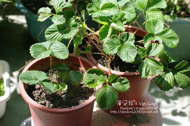 2013.06.02-小草莓