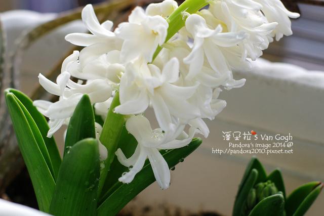 2014.01.25-風信子No.1-3.jpg