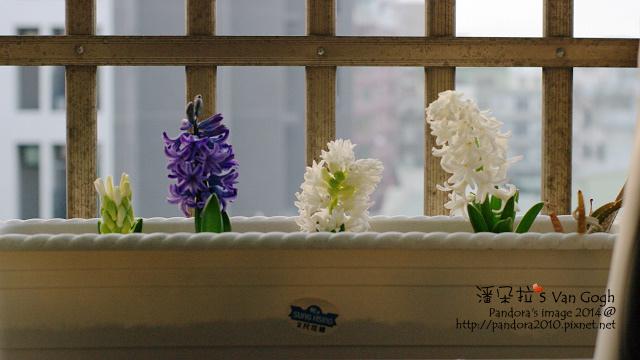 2014.01.30-風信子