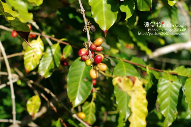 咖啡樹。2014