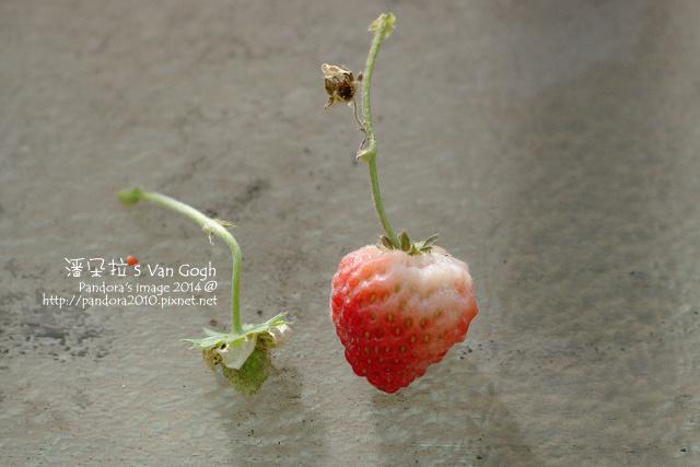 2014.02.04-小草莓-白粉.jpg