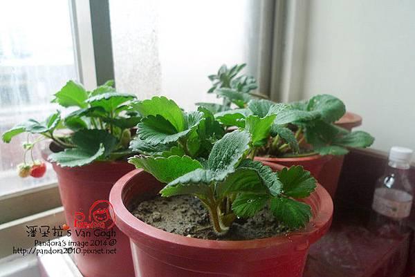 2014.02.09-小草莓.jpg