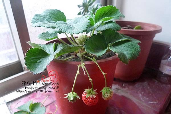 2014.02.09-小草莓No.4.jpg