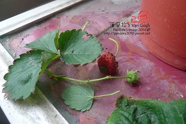 2014.02.09-小草莓No.4-修剪.jpg