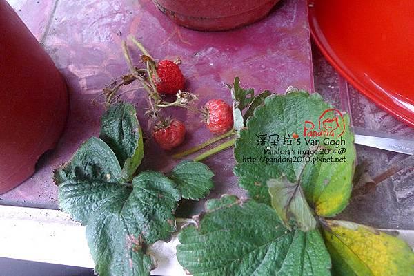 2014.02.09-小草莓No.5-修剪.jpg