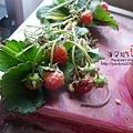 2014.02.09-小草莓No.6-修剪.jpg