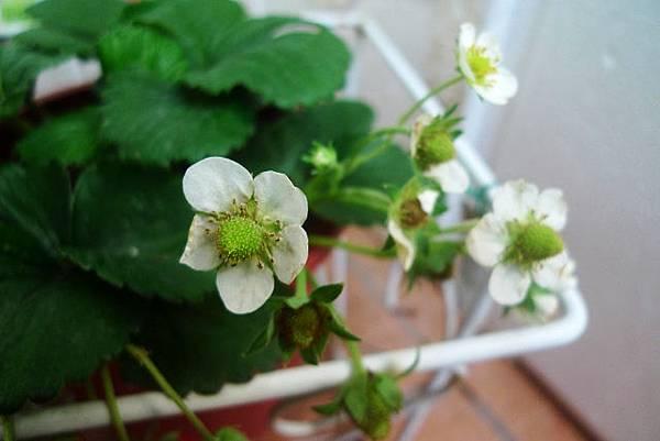 2014.01.27-草莓花.jpg