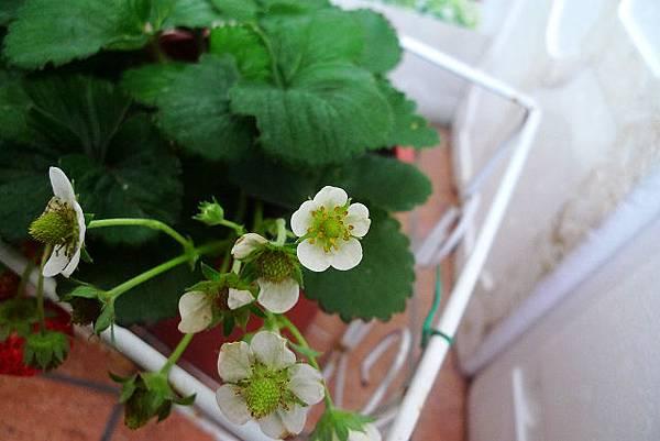 2014.01.27-草莓花-.jpg