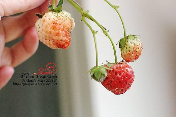 2014.02.17-小草莓.jpg