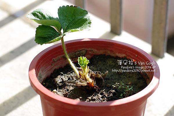 2014.02.24-小草莓No.6.jpg