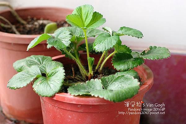 2014.03.04-小草莓No.5.jpg