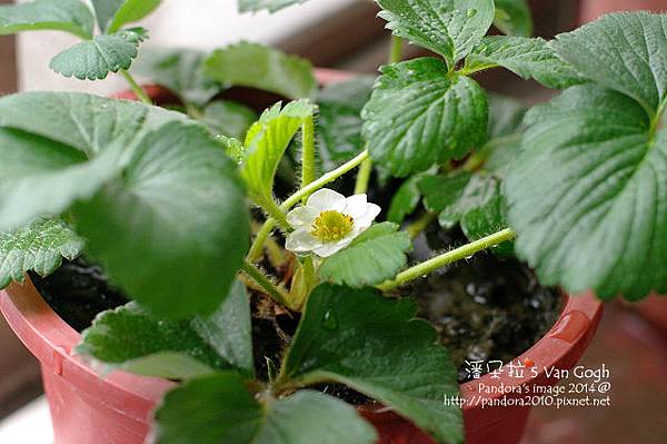 2014.03.22-小草莓No.4.jpg