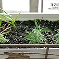 2014.03.22-迷迭香No.4、5、蒜苗、檸檬百里香.jpg