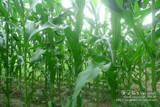 玉米田。2014