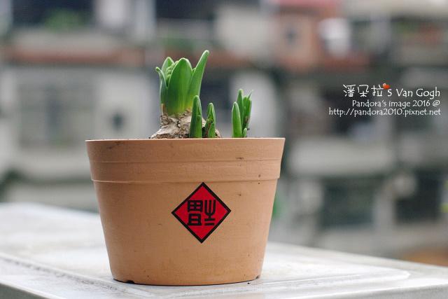 2016.01.30-風信子No.7-哈蓮市.jpg