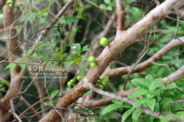 2016.04.14-樹葡萄.jpg
