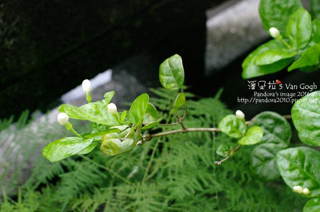 2016.05.01-茉莉花-4.jpg