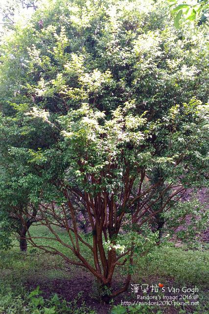 2016.05.28-我和老李有個約會。樹葡萄.jpg