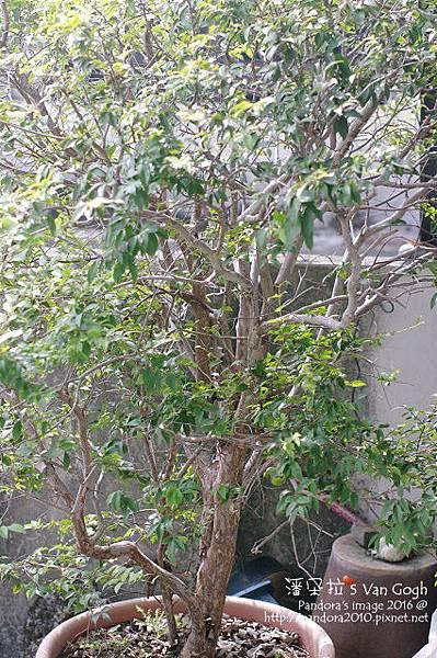 2016.10.26-樹葡萄.jpg