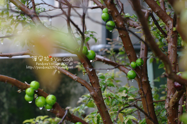 2017.02.25-樹葡萄.jpg