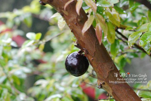 2017.02.25-樹葡萄no.1.jpg