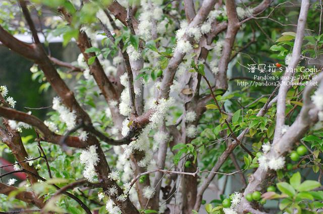 2017.03.14-樹葡萄.jpg