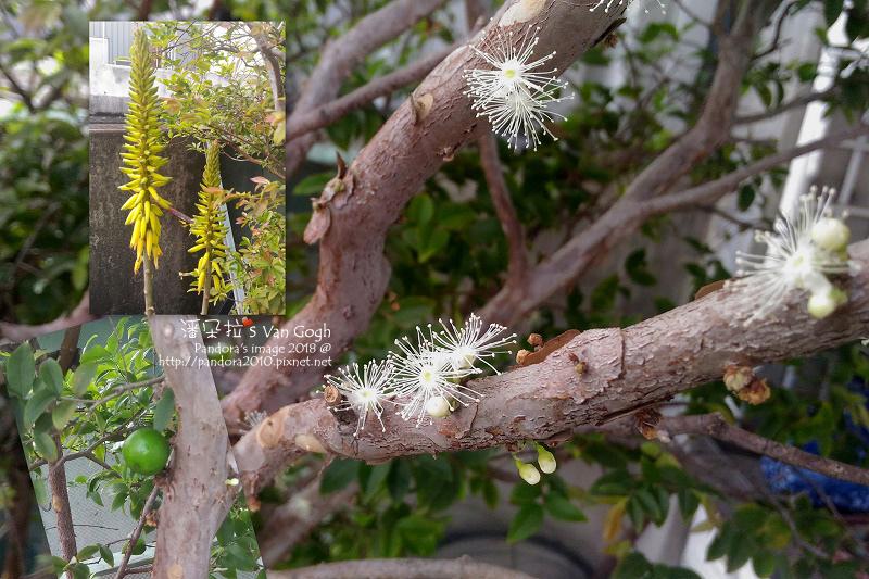 2018.03.03-園丁日記。樹葡萄、蘆薈.jpg