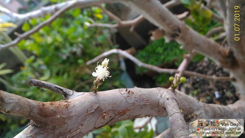 2019.01.07-樹葡萄。花.jpg