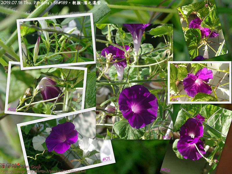 2019.07.18-朝顏。濱之濃紫.。潘朵拉's Van Gogh。Pandora's Van Gogh