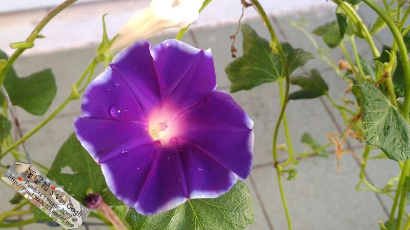 2019.08.18-朝顏。太陽紫#05.jpg